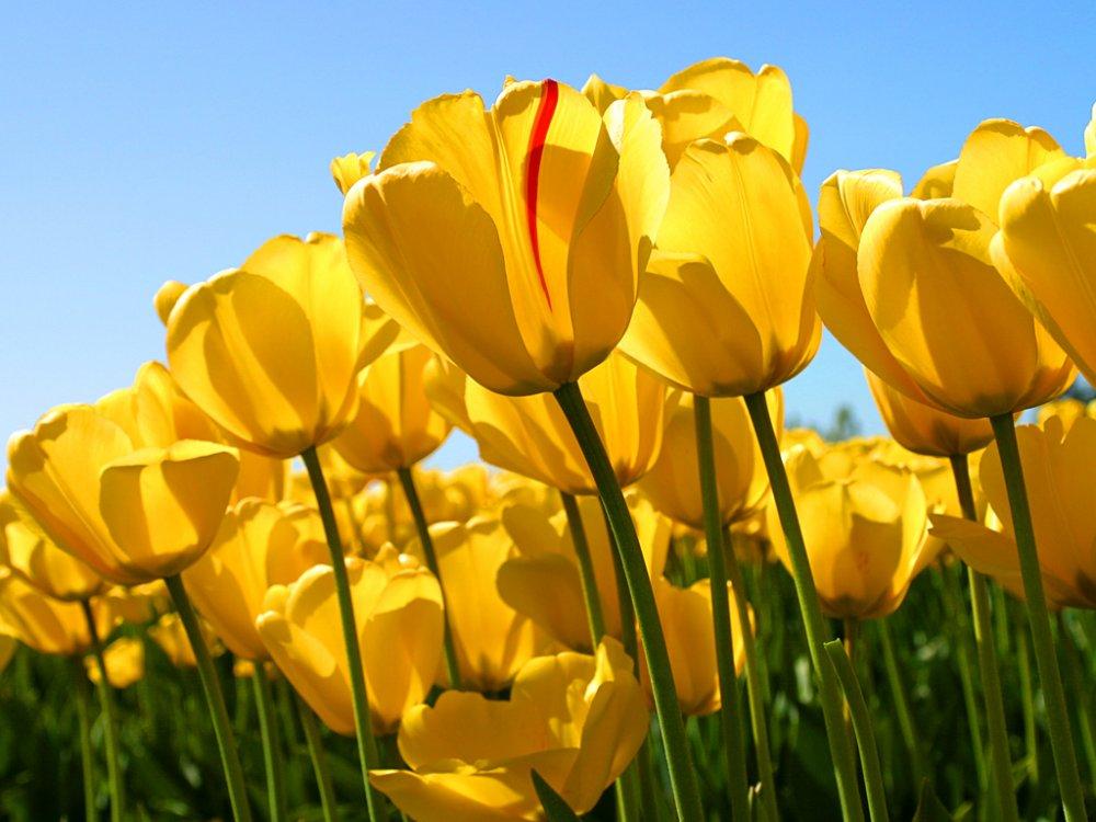Tulips.jpg.bd7ab65b744e0166615d025804889a04.jpg